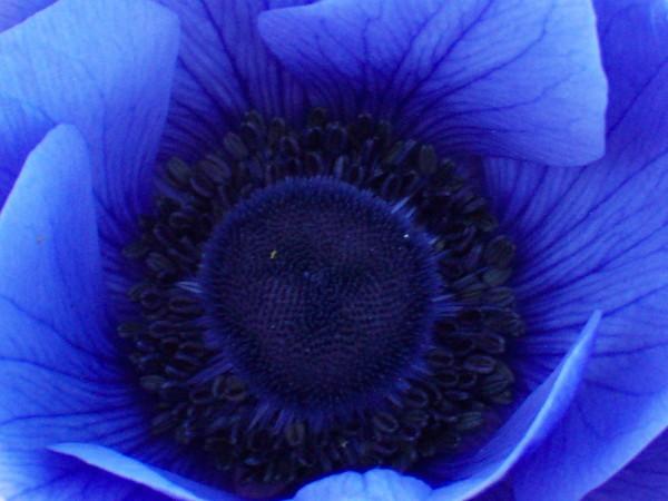 blomster blå vår