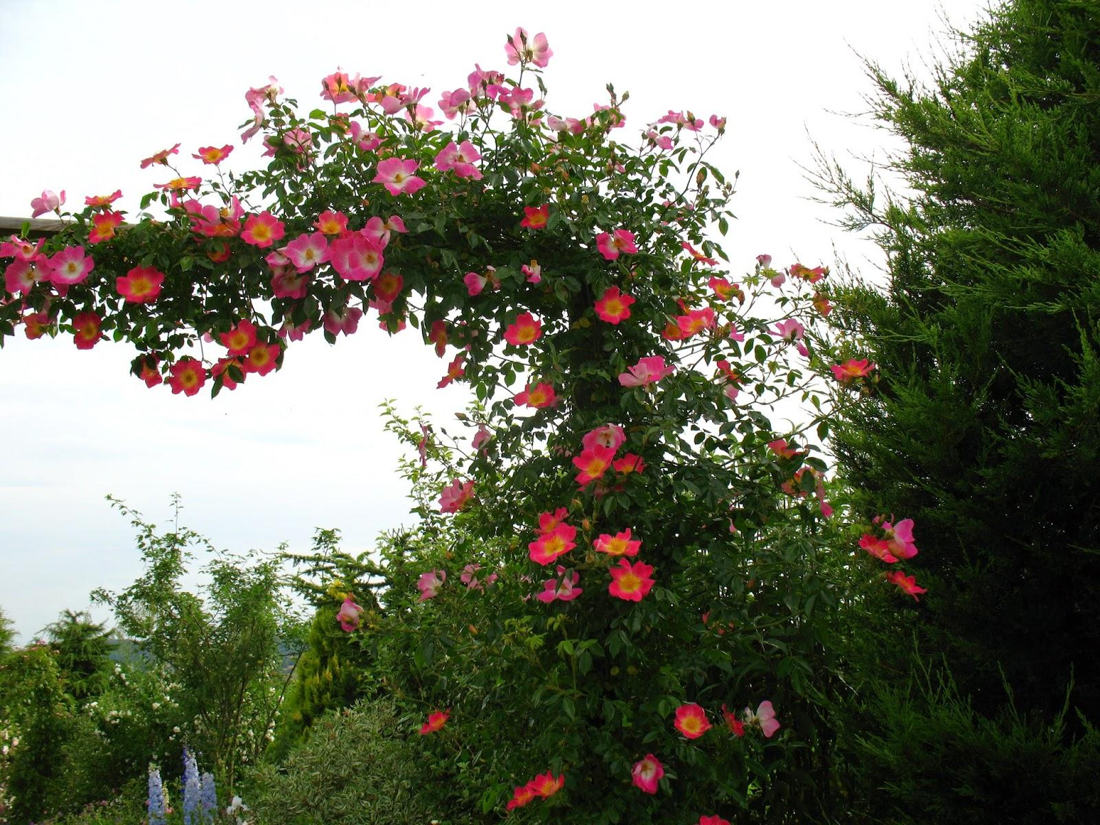 Roses du jardin ch neland - Arche pour rosier grimpant ...