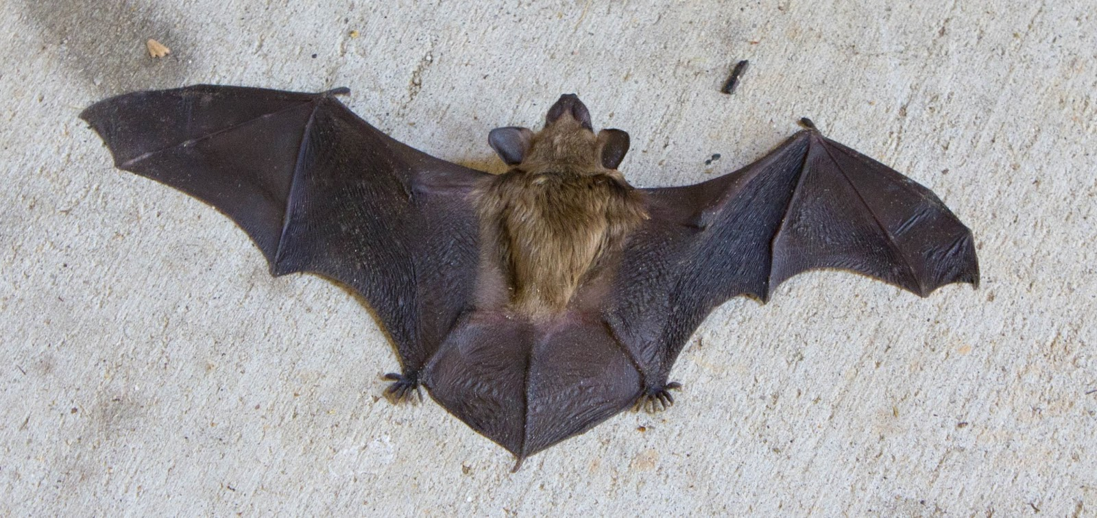 The Midnight Carver Origami Big Dark Brown Bat And