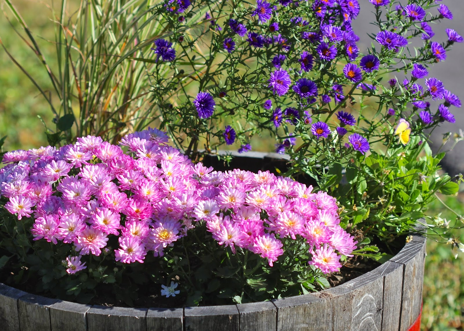 Red House Garden: The Curious Case of the Color Changing Chrysanthemums
