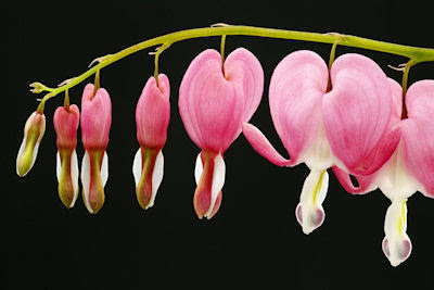 Pink bleeding hearts - Corazones sangrantes de color rosa