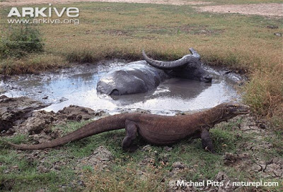 Komodo Dragon and water Buffalo