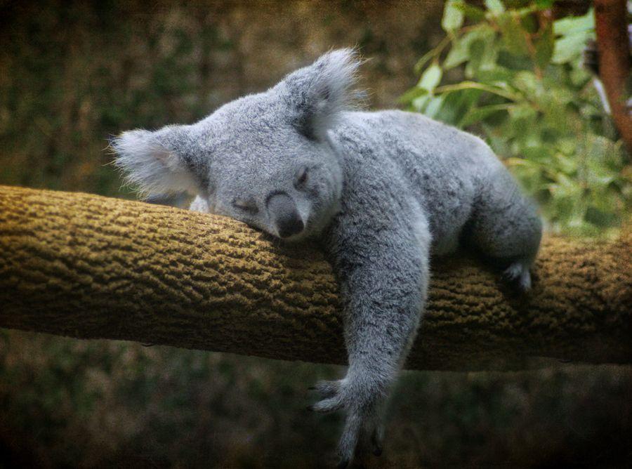 13. Koala by Tamara Kaylor