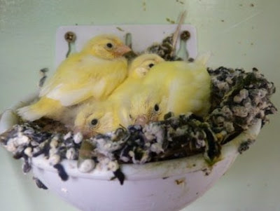 Whoopidooings: Canary chicks