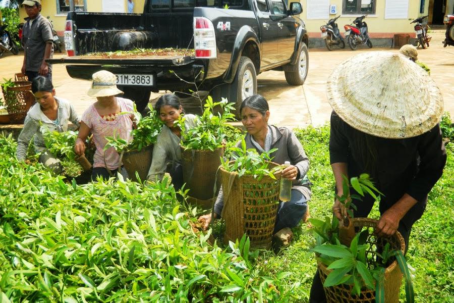 Gia Lai: Giảm nghèo từ việc phát triển cây bời lời