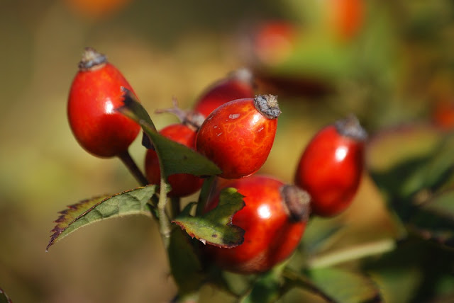 Rosa Mosqueta - Fruto