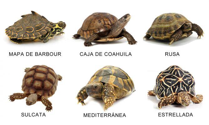 las 7 especies de tortugas: