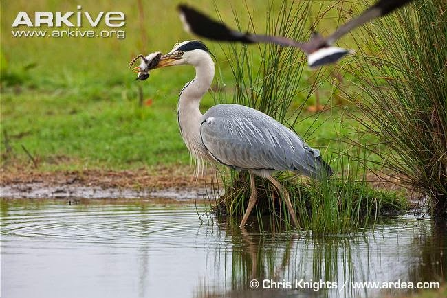 interactions between acuatic birds grey heron