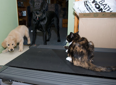 A brown, black, and white mottle cat sits on a treadmill and faces off a large black Lab and a 3 month old Golden Retriever ball of fluff.