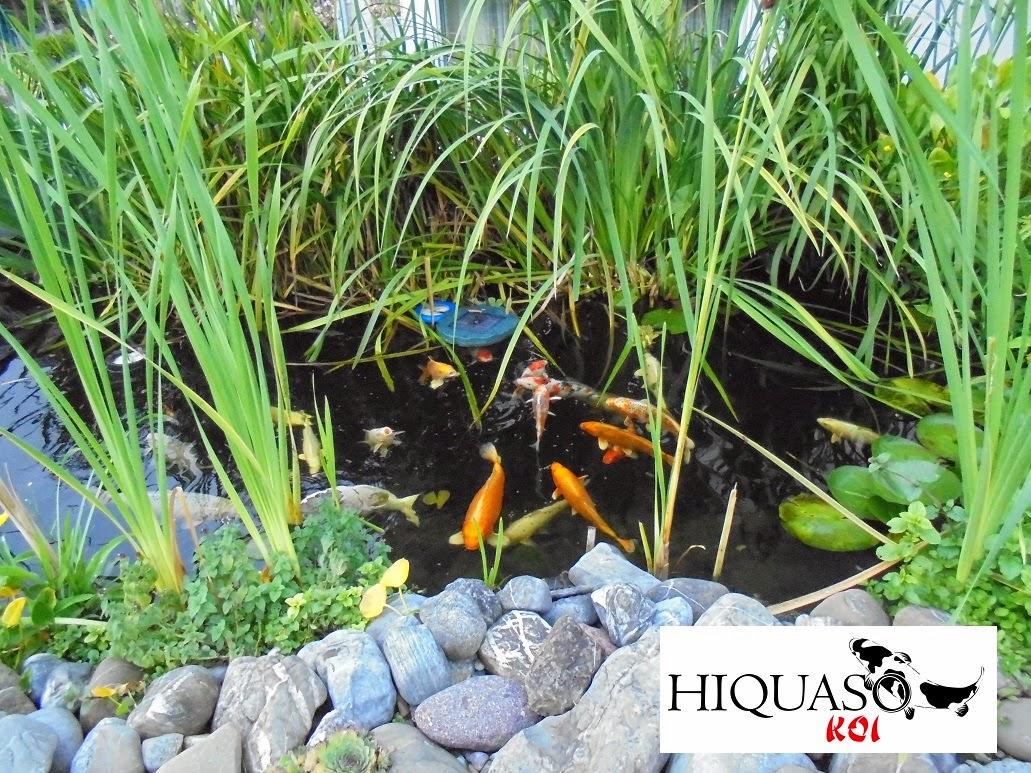Koi gefüttert mit Hiquaso Koifutter