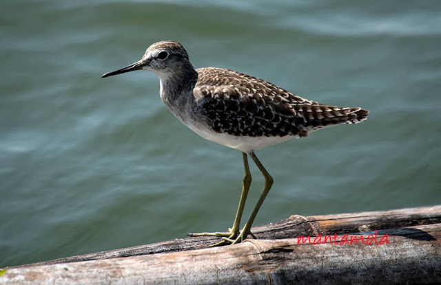 Marsh Sandpiper
