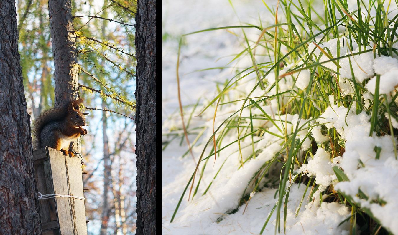 Белочка. Первый снег. Апатиты в октябре.