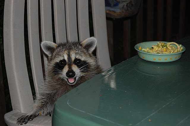 funny animal pictures, raccoon