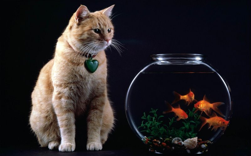 goldfish bowl and cat. Google to find out how