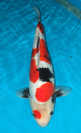 Japanese used car dealer every blog swimming jewels for Koi fish farm near me
