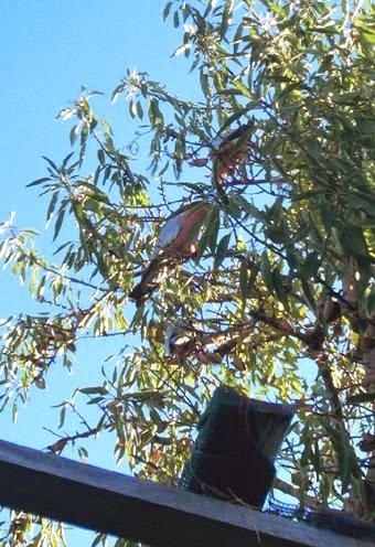 Galahs in neighbour's tree