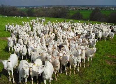Goats from Poitou