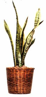 Сансевиерия трехполосая (Sansevieria trifasciata «Laurentii») — одно из самых выносливых растений и хорошо растет на любом подоконнике - как в тени, так и на свету.