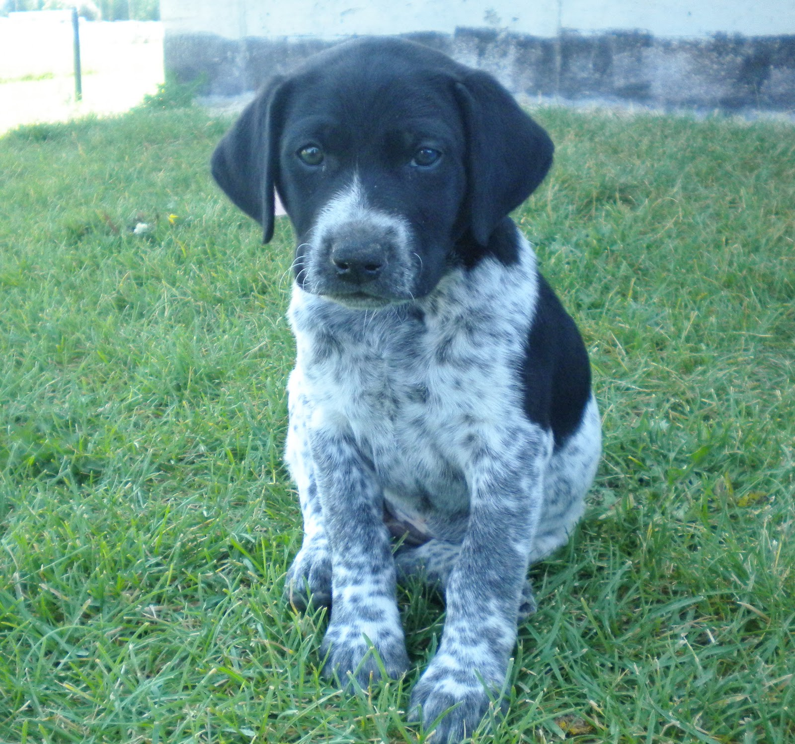 Purebred German Shorthair Puppies for sale- Stay tuned until Spring ...