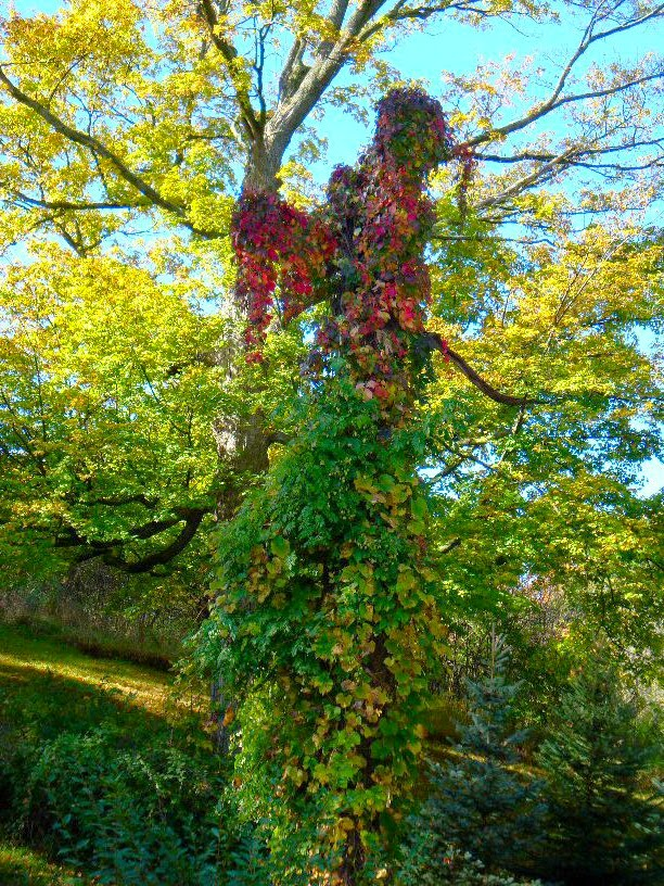 fall colors grow - autumn grapevine - spooky tree photo