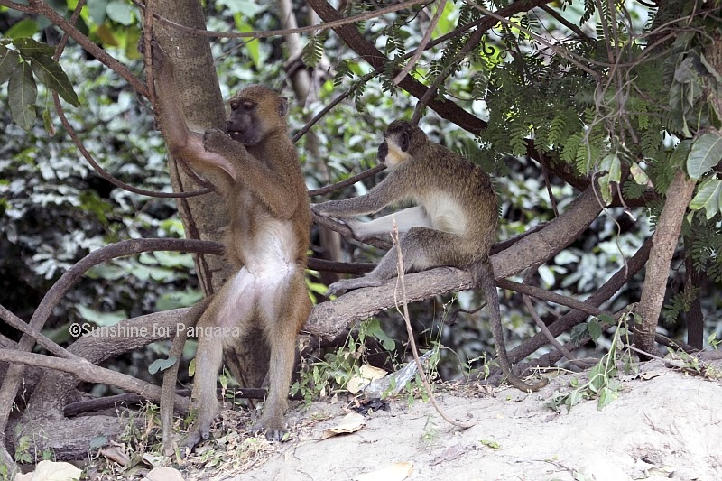 Guinea Baboon and Green Monkey in Gambia.