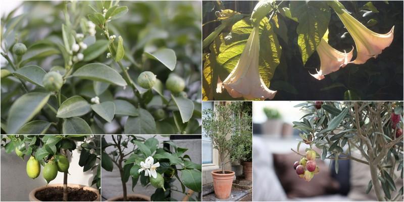 Oliventræer, citrustræer og engletrompet