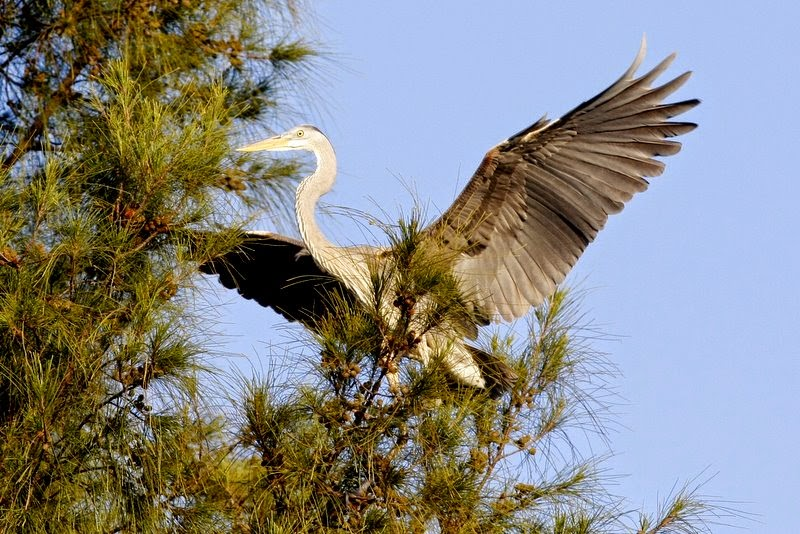 Anna Maria Island Heron