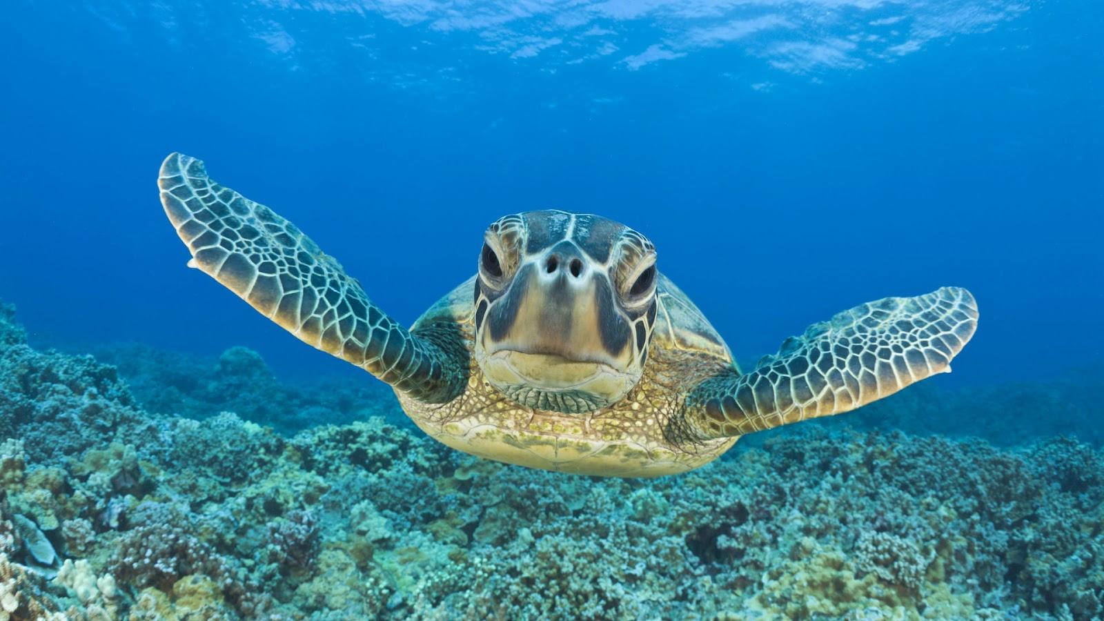 Must see   Wallpaper Horse Ocean - Turtle+hd+wallpaper+42  Gallery_68467.jpg