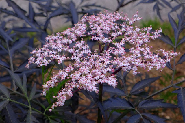 BLack Lace Elderyberry flowers
