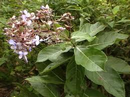 akar tumbuhan srigunggu atau senggugu obat sinusitis dan gurah