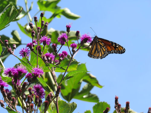 Monarch butterfly on New York ironweed