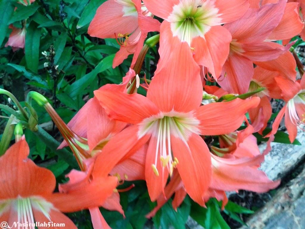 Bunga Amarilis yang sedang bermekaran dipagi hari