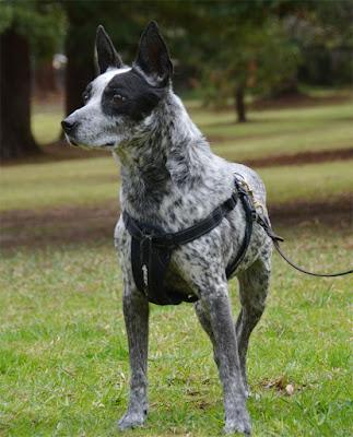 Ranger the Australian Cattle Dog