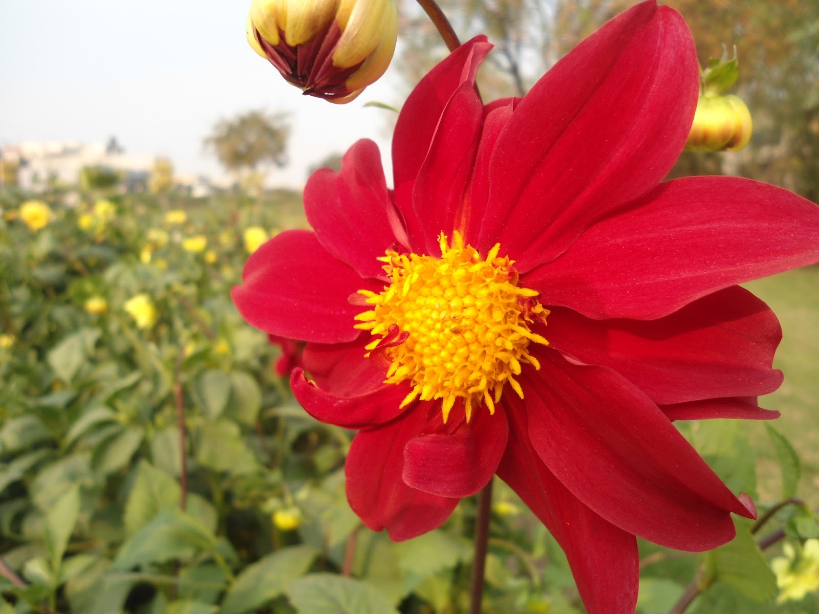 Flora hort all about horticulture floriculture and landscaping there are 30 species with 20000 cultivars some producing large show chrysanthemum like flower heads dahlias were originally izmirmasajfo