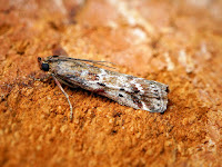 Latest New Micro Moth Species - Delplanqueia dilutella