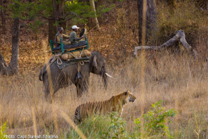 Tiger Show at Bandhavgarh
