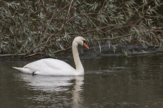 Split Personality - Mute Swan on the River Ouse