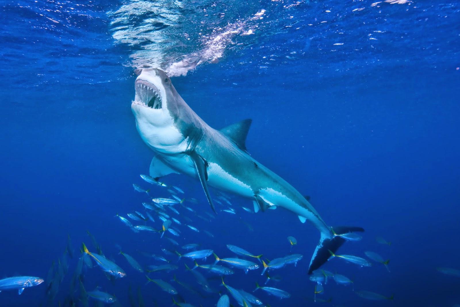 Increíble Pagina De Color Tiburon Galería - Enmarcado Para Colorear ...