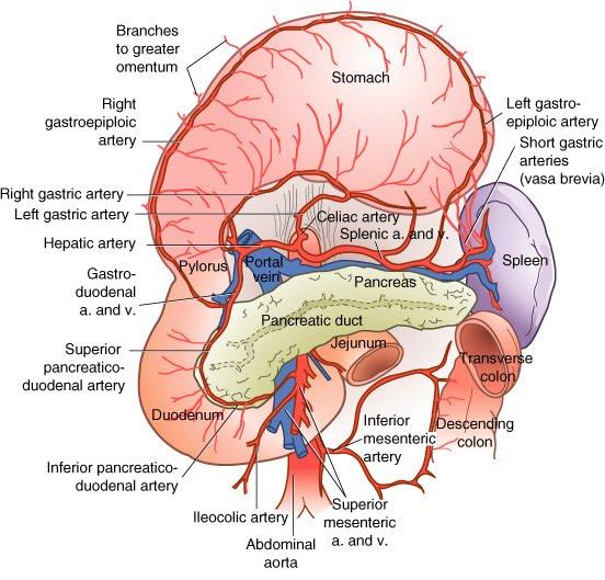 Radiologia nota 10 é aqui Desde 2010: VASCULARIZAÇÃO DO ESTÔMAGO