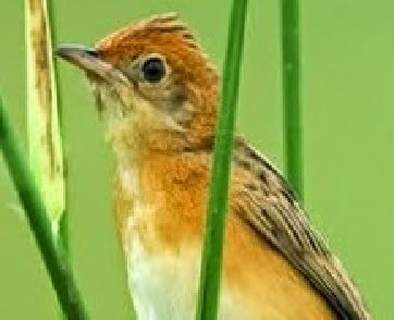 burung salome atau burung cici merah memang masih sangat jarang yang ...