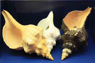 Muscheln im Shell Museum auf Sanibel Island © Copyright Petar Fuchs, TravelWorldOnline