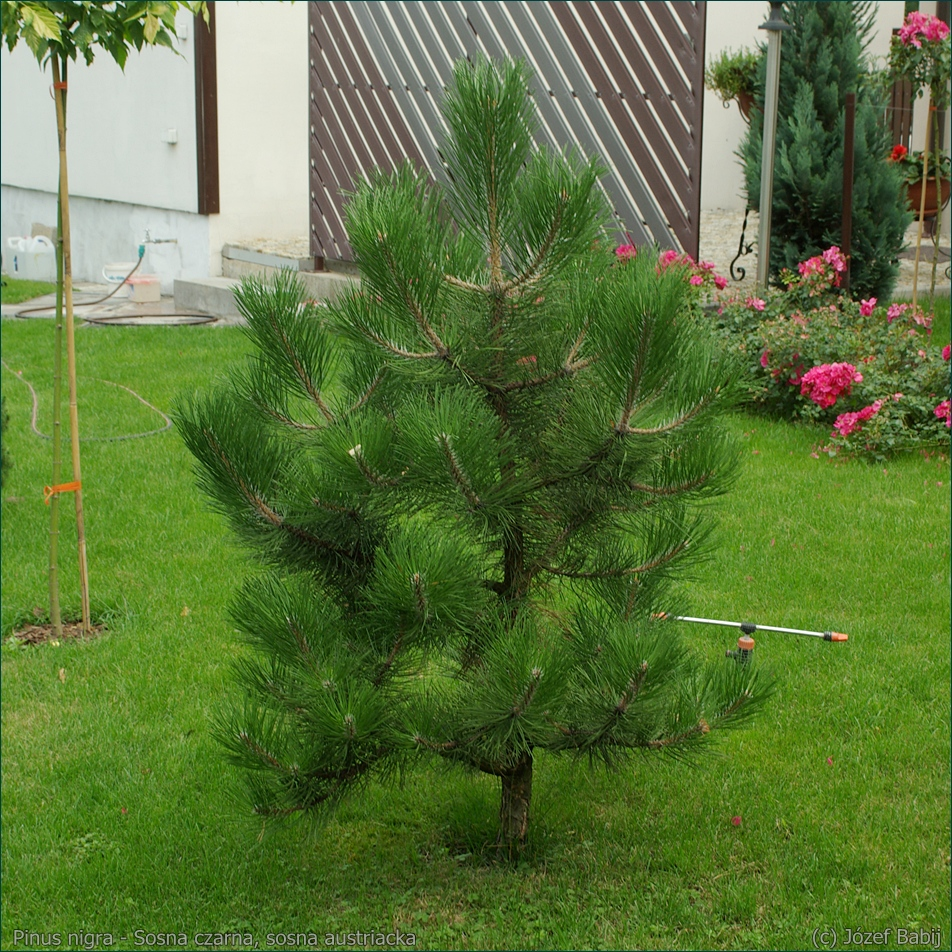Pinus nigra - Sosna czarna, sosna austriacka