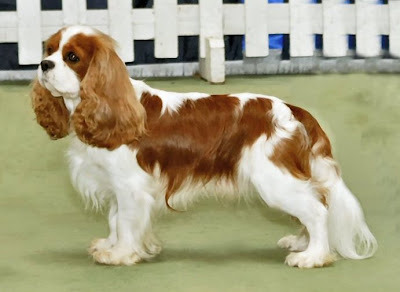 Flat Nosed Dog Breed http://breeds-type.blogspot.com/2013/01/cavalier-king-charles-spaniel.html