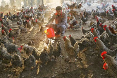 China Bird Flu New Year