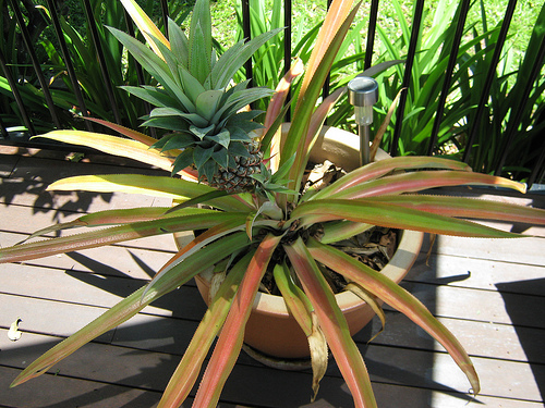 Honey butter how to grow a pineapple for How to plant a pineapple top in a pot