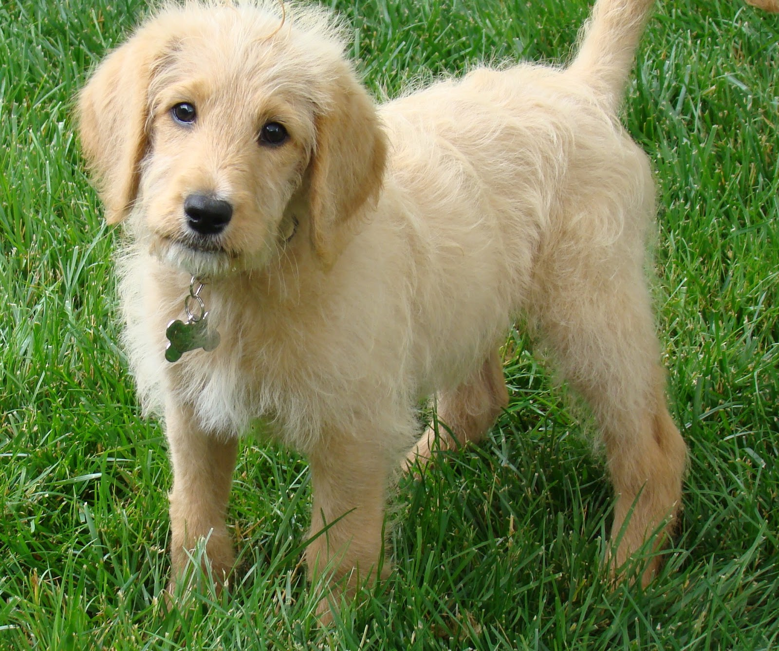 Labradoodle Puppies Images Hd All Hd Wallpapers