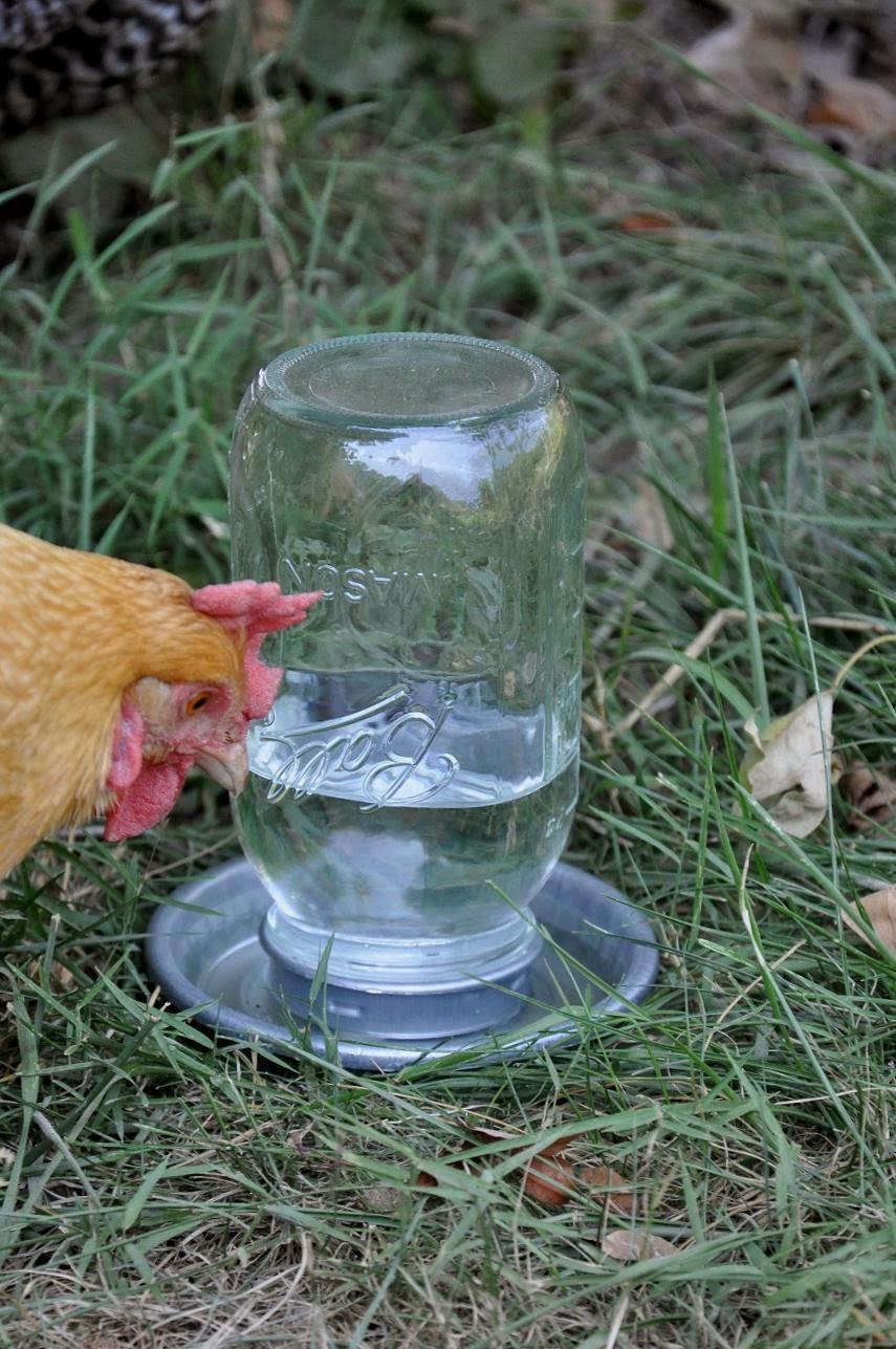 Поилка из пластиковой бутылки для цыплят своими руками