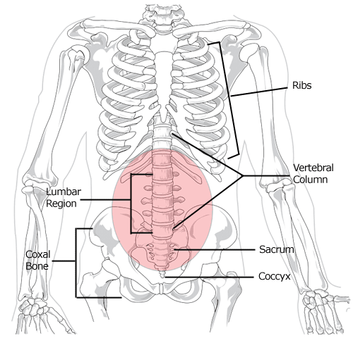 Lumbar region in human skeleton