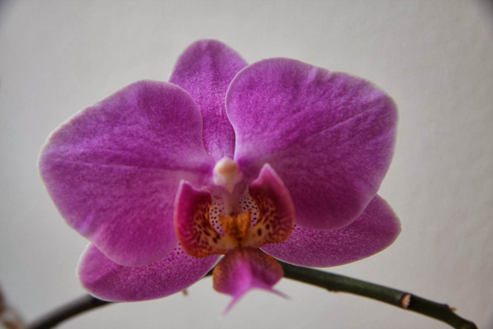 Pinky/Purple Orchid