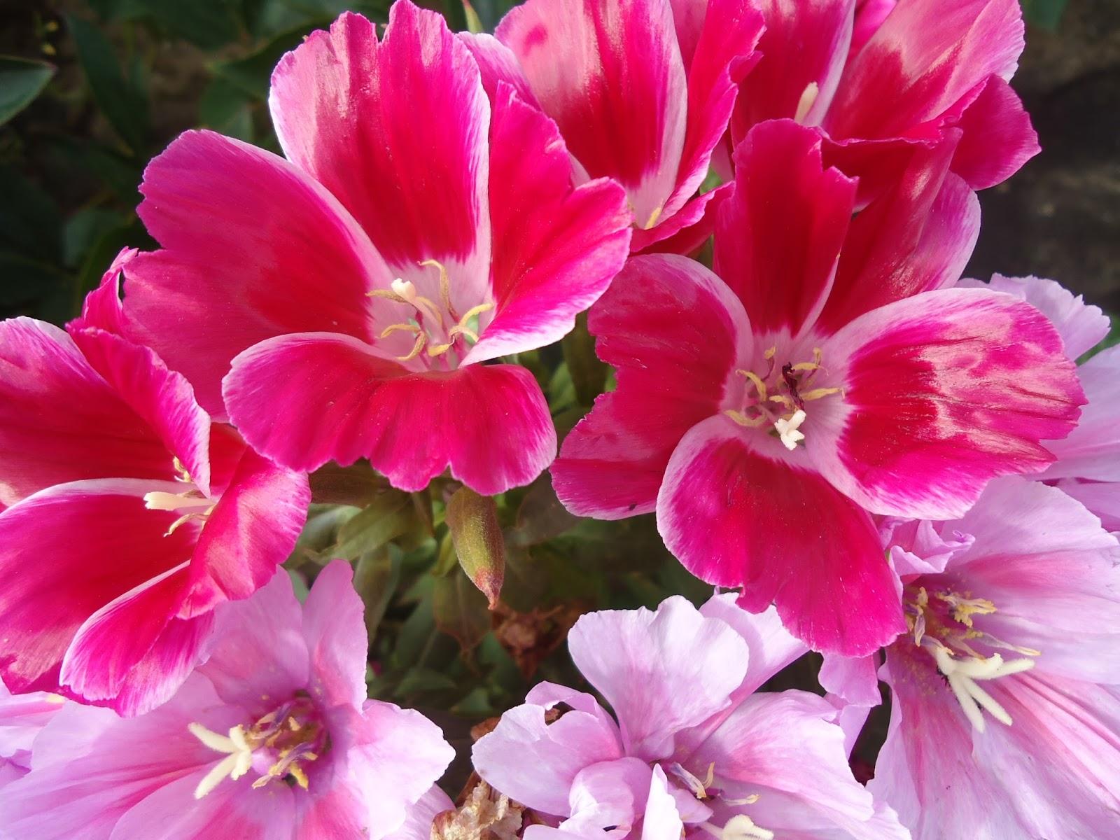 Цветы годеция когда сажать 759